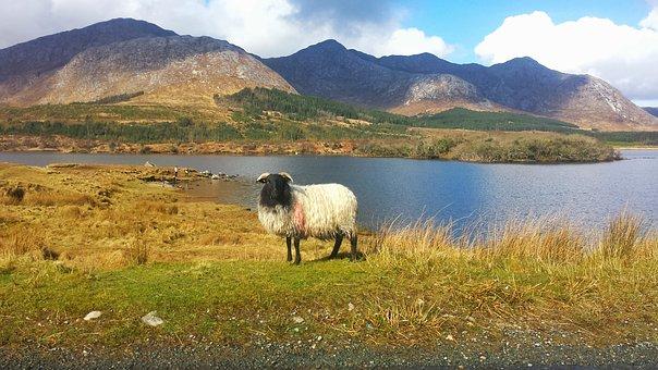 Irland_-_Schaf