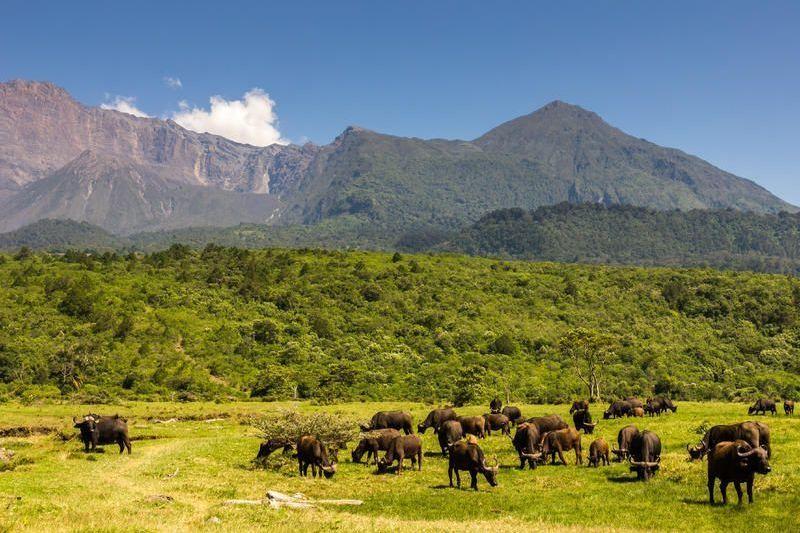Tansania-Büffel