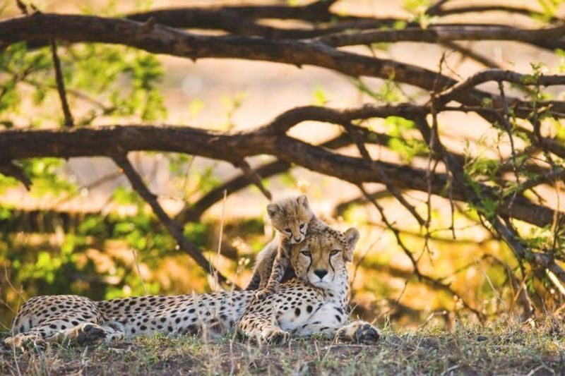 Tansania-Geparden