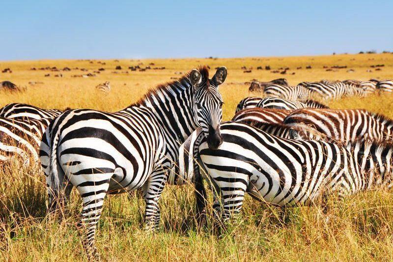 Tansania-Zebras